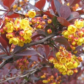 berberis-ottawensis-purpurea-verborbolya