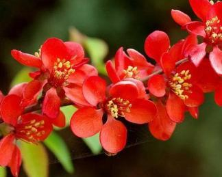 chaenomeles-superba-crimson-and-gold-japan-diszbirs