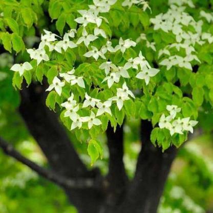cornus-kiousa csillagsom virág