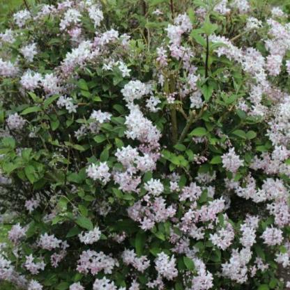 deutzia-x-hybrida-mont-rose gyöngyvirágcserje