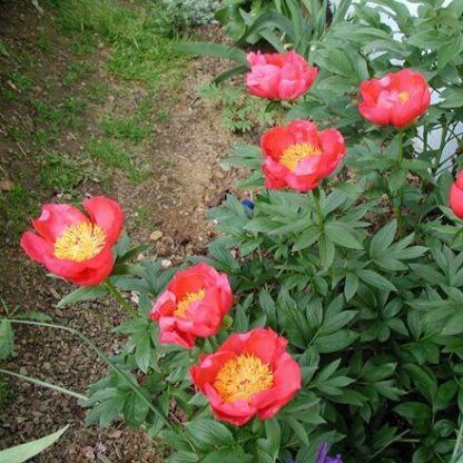 A Paeonia lactiflora 'Flame' – lágyszárú bazsarózsa bőségesen, 7-10 napon keresztül virágzik