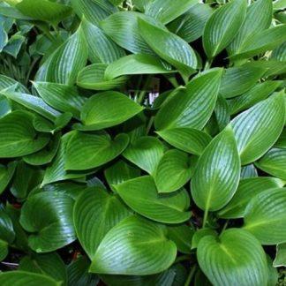 hosta-devon-green-arnyekliliom