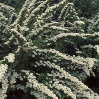 spiraea-nipponica-snowmound-nipponi-gyöngyvessző