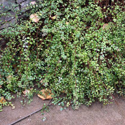 symphoricarpos-chenaultii-hancock-snowberry-hobogyo