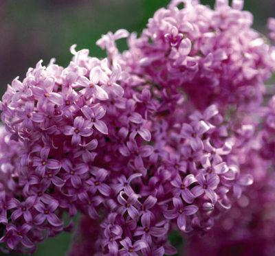 syringa-chinensis-saugeana-kerti-orgona virága