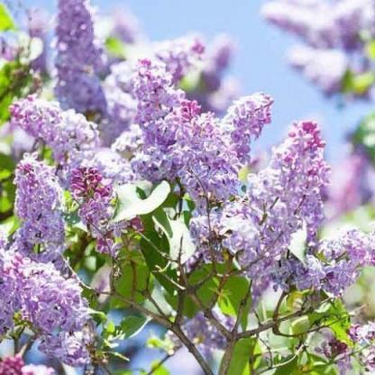 syringa-vulgaris-kerti-orgona