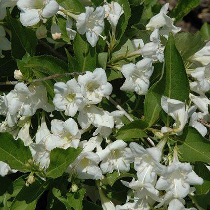 weigela-florida-snowflake-rozsalonc