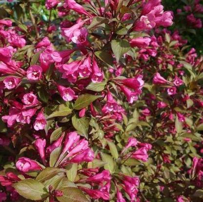 weigela-florida-victoria-rozsalonc