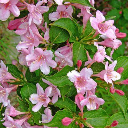 weigela-hibrid-le-printemps-rozsalonc