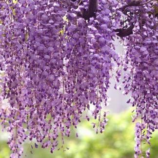 wisteria-floribunda-royal-purple-lilaakac