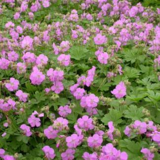 Geranium_cantabrigiense_Cambridge angol gólyaorr