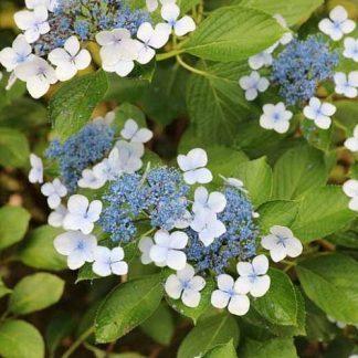 Hydrangea-serrata-bluebird-erdeslevelu-hortenzia