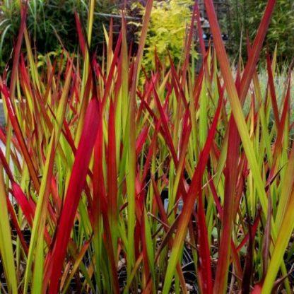 Imperata-cylindrica-Red-Baron piros alangfű