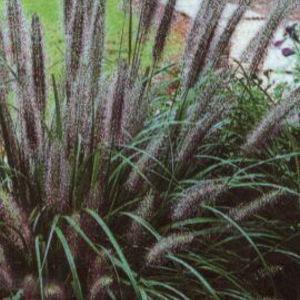 Pennisetum alopecuroides 'National Arboretum' évelő tollborzfű