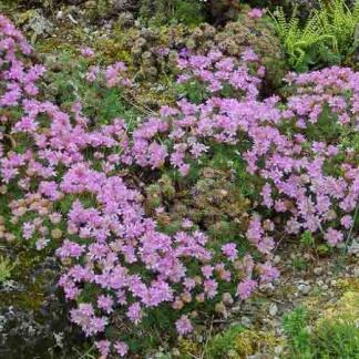 armeria-juniperifolia-borokalevelű pázsitszegfű