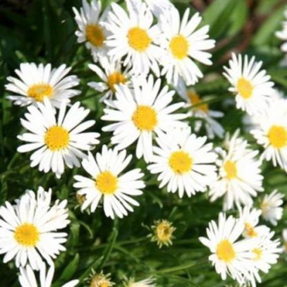 aster-alpinus-white-havasi-oszirozsa