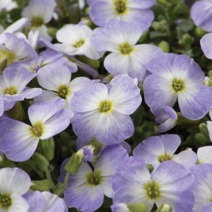 aubrieta_x_cultorum-blue-blush-bicolor