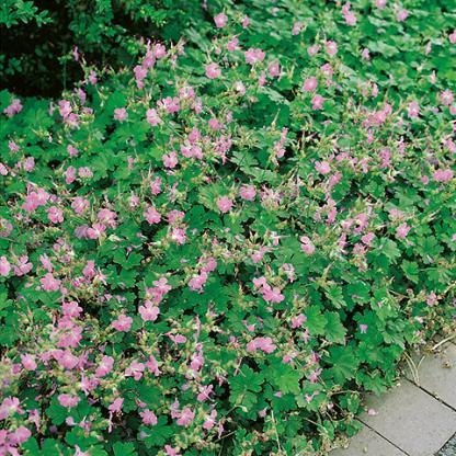 geranium berggarten angol gólyaorr
