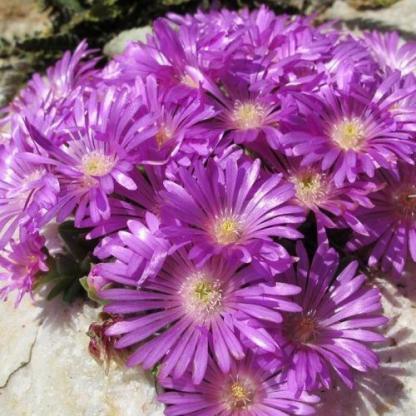 delosperma-obtusum-pink-zulu-delvirag