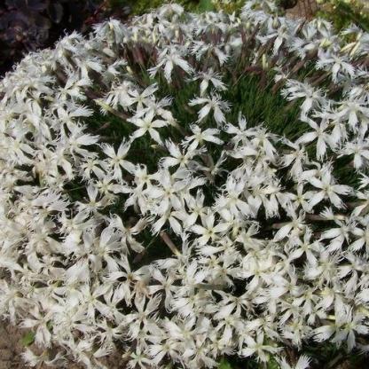 dianthus-berlin-snow-tollas-szegfu virágpompa