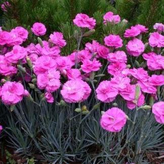 dianthus-gratianopolitanus-pink-jewel-punkosdi-szegfu