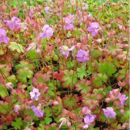 Geranium x cantabrigiense 'Berggarten' angol gólyaorr