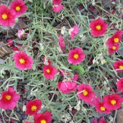 helianthemum-dompfaff-napvirag