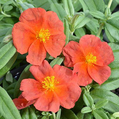 helianthemum-fire-dragon-napvirag
