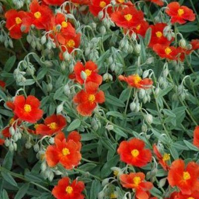 helianthemum-fire-dragon-napvirag2