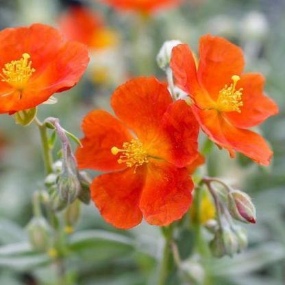 helianthemum-henfield-brilliant-napvirag
