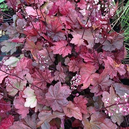 heuchera-autumn-leaves-tűzeső - tűzgyöngyvirág
