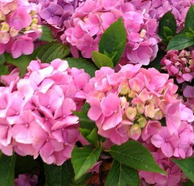 hortensia-macrophylla-lavblaa-hortenzia