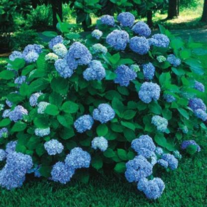 hortensia-macrophylla-nikko-blue-hortenzia