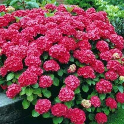 hortensia-macrophylla-red-baron-hortenzia