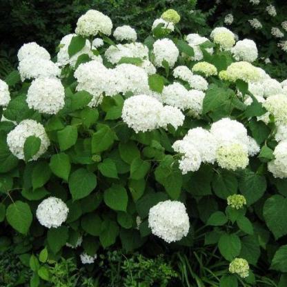 hydrangea-arborescens-grandiflora-cserjes-hortenzia