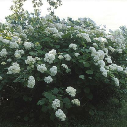 hydrangea-arborescens-hills-of-snow-cserjes-hortenzia2