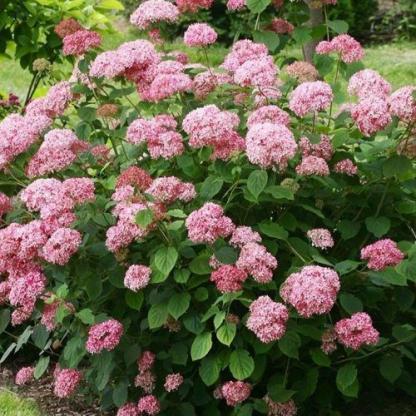 hydrangea-arborescens-pink-percusion-cserjes-hortenzia