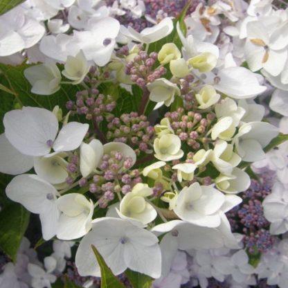 hydrangea-cloudi-cserjes-hortenzia