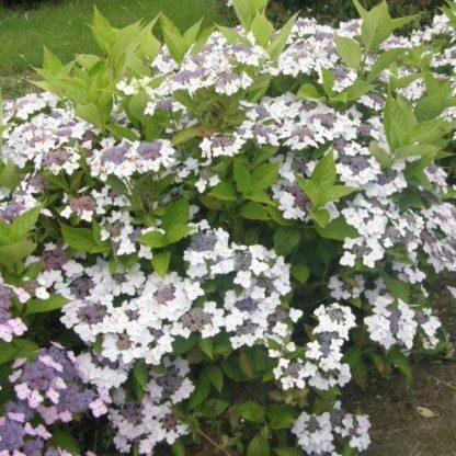 hydrangea-cloudi-cserjes-hortenzia sövény