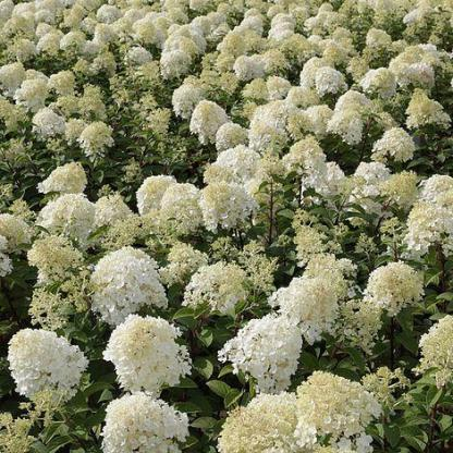 hydrangea-paniculata-bobo-bugas-hortenzia