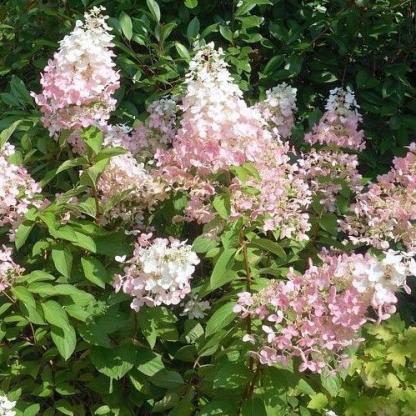 hydrangea-paniculata-confetti-bugas-hortenzia