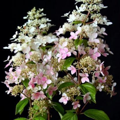 hydrangea-paniculata-confetti-bugas-hortenzia virága