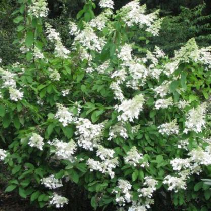 hydrangea-paniculata-levana-bugas-hortenzia