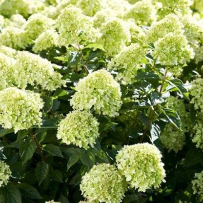hydrangea-paniculata-little-lime-bugas-hortenzia