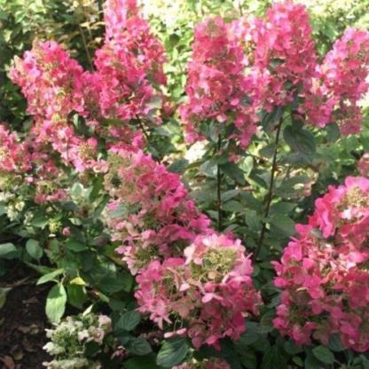 hydrangea-paniculata-magical-flame-bugas-hortenzia