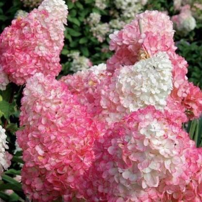 hydrangea-paniculata-pink-lady-bugas-hortenzia