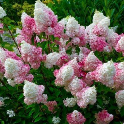 hydrangea-paniculata-pink-lady-bugas-hortenzia bokor