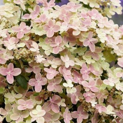 hydrangea-paniculata-polestar-bugas-hortenzia