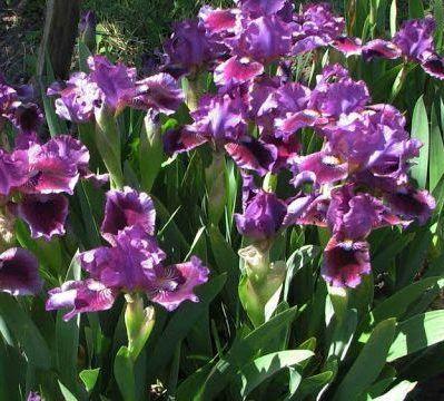 iris-barbata-nana-fairy-ballet-apró nőszirom virágai