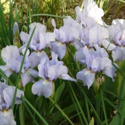 iris-barbata-nana-oberschwaben-noszirom